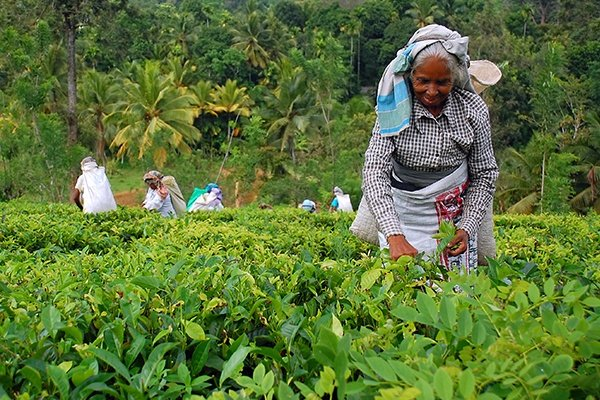 Local picking tea leaves in tea plantation - Sri Lanka