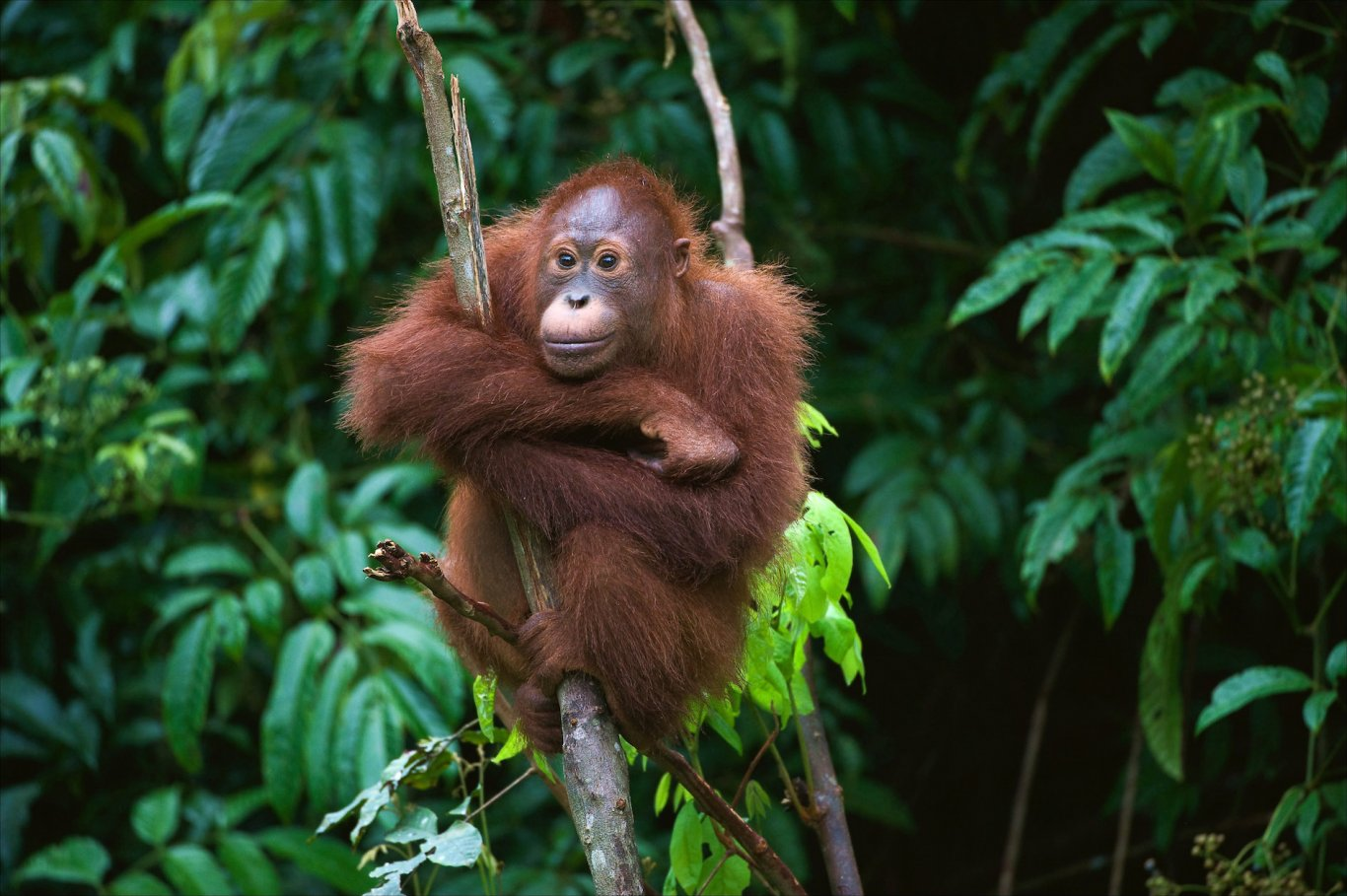 Orangutan in Borneo climbing tree