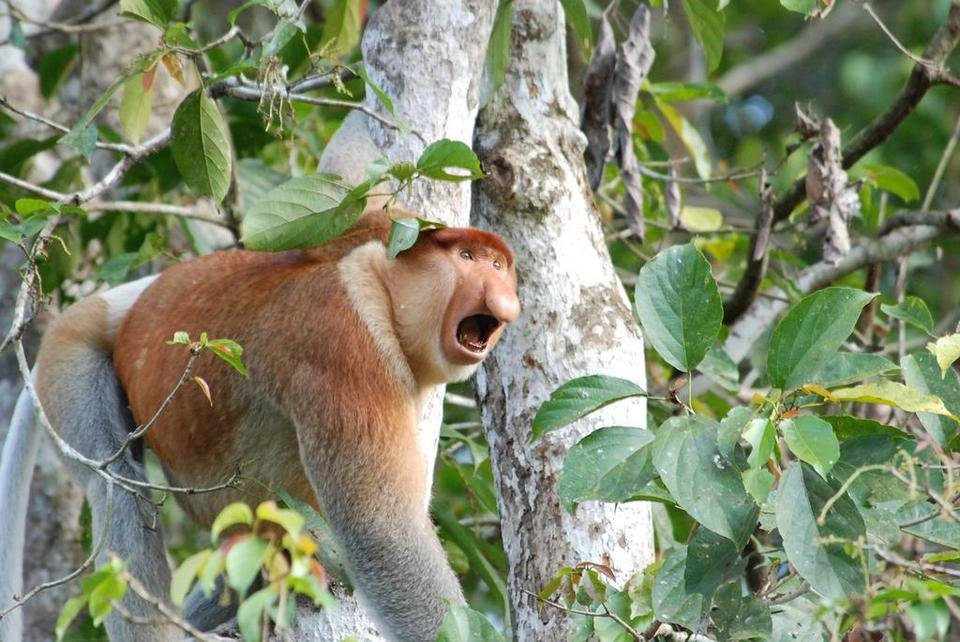 Proboscis monkey swinging in trees - Wildlife in Borneo