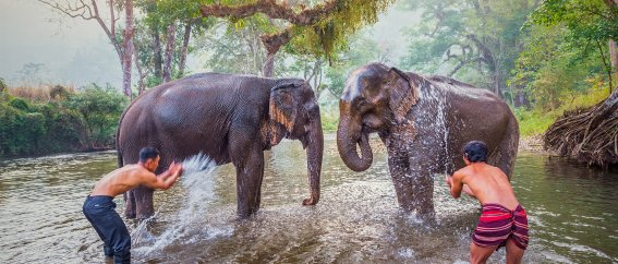 Two elephants in river with men splashing water at them