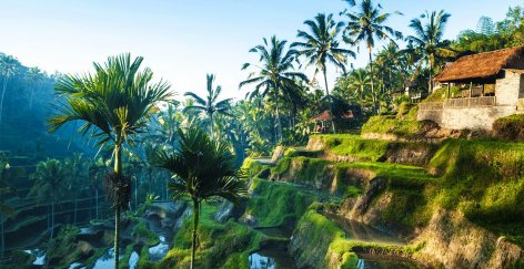 ubud rice terraces with green palm trees and house in distance