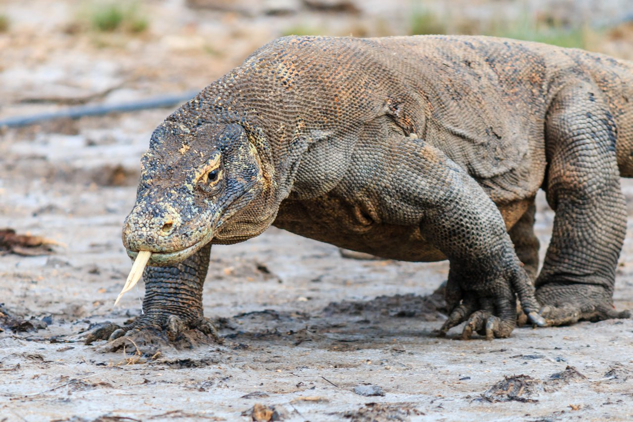 Island Hopping Indonesia- Komodo Dragon